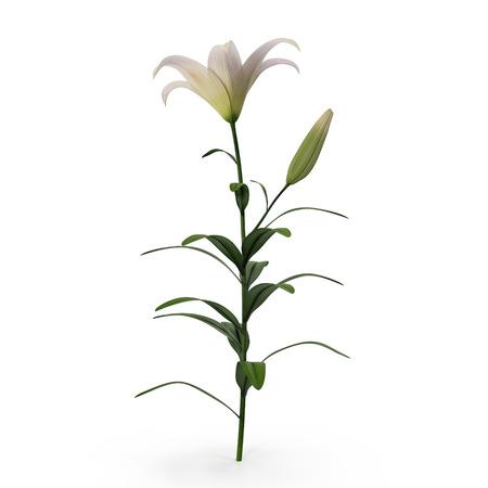 white lilly: White Lily on white. 3D illustration