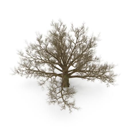Oak Tree Winter on white background. 3D illustration Stock Photo