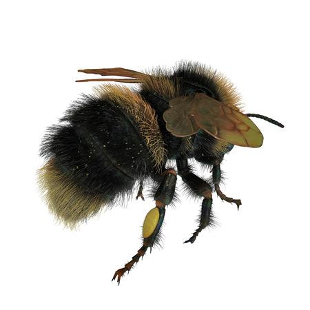 Buff-tailed bumblebee, Bombus terrestris, isolated on white background. 3D illustration