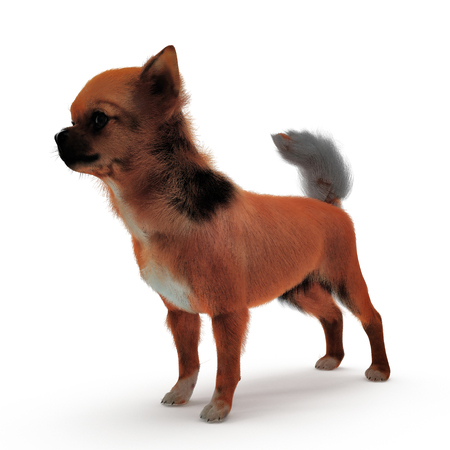 chihuahua: adult chihuahua on white background. 3D illustration