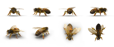European honey bee, renders set from different angles on a white. 3D illustration Stock Photo