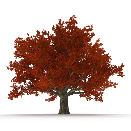 fall leaves: Old Red Oak Tree Autumn on white. 3D illustration