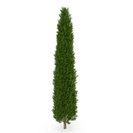 Cypress Tree op wit geïsoleerd. 3D illustratie Stockfoto