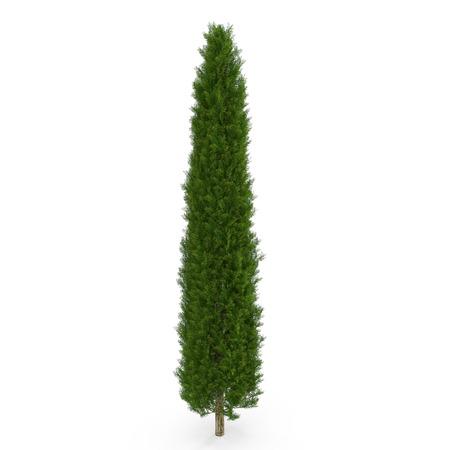 Cypress Tree op wit geïsoleerd. 3D illustratie Stockfoto - 83365564