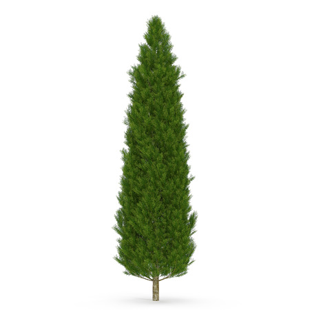 Cypress Tree on white isolated. 3D illustration Imagens - 83365697