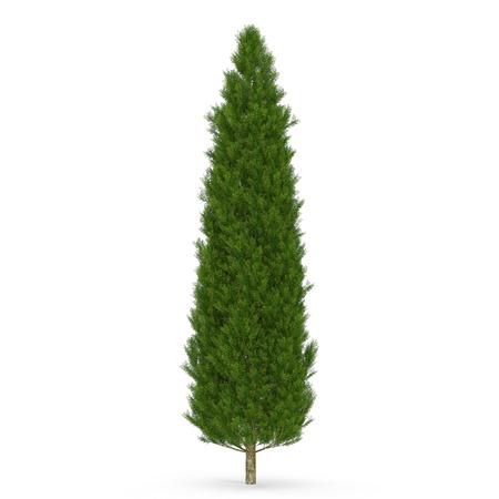 Cypress Tree op wit geïsoleerd. 3D illustratie Stockfoto