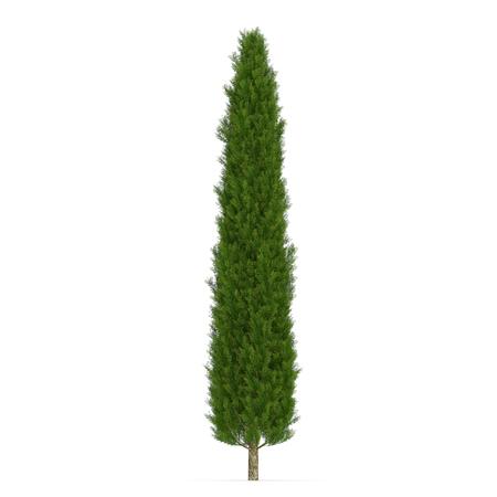 Cypress Tree on white. 3D illustration