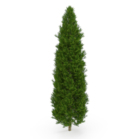 Cypress Tree on white. 3D illustration