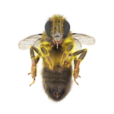 European honey bee, isolated on white. 3D illustration
