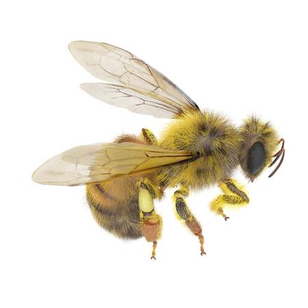 European honey bee, isolated on white. 3D illustration