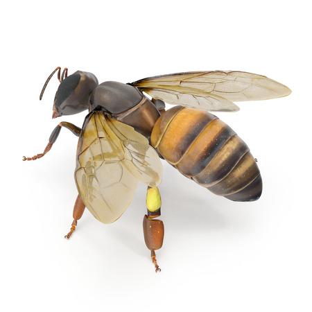 European honey bee, isolated on white background. 3D illustration