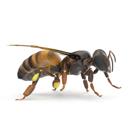 insect honey bee isolated on white background. 3D illustration