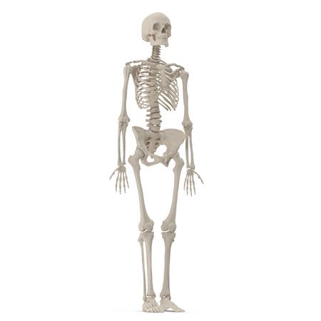 medical accurate female skeleton on white background. 3D illustration Stok Fotoğraf