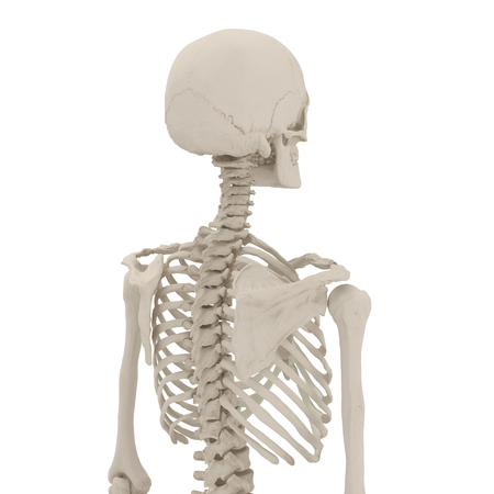 Esqueleto Femenino Humano En Blanco. Ilustración 3D Fotos, Retratos ...