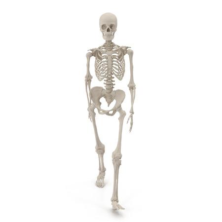 인간의 여성 뼈대 화이트 포즈를 걷고. 3D 일러스트 레이션