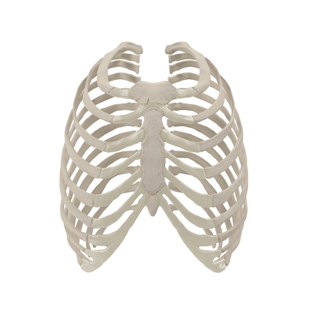 Female Ribcage Skeleton on white. Front view. 3D illustration Imagens