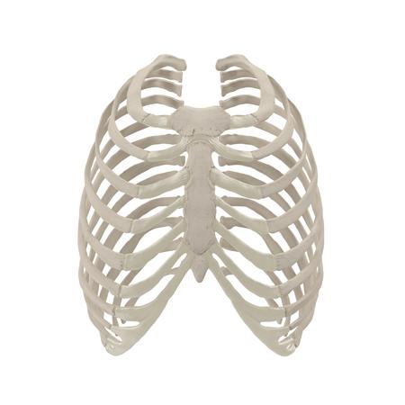 Female Ribcage Skeleton on white. Front view. 3D illustration Stock Photo