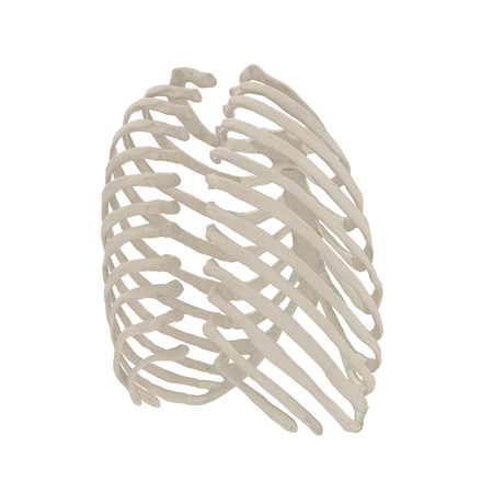 Female Ribcage Skeleton on white. 3D illustration