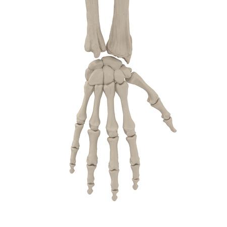 Human Arm Bones on white. 3D illustration Stok Fotoğraf