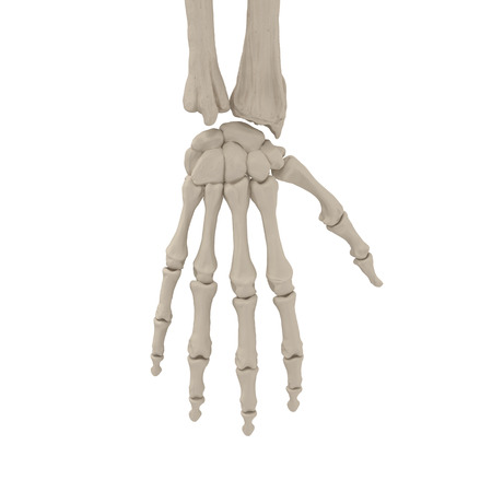 Human Arm Bones on white. 3D illustration Stock Photo