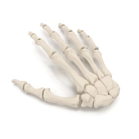 Human Arm Bones on white. 3D illustration Stock Photo