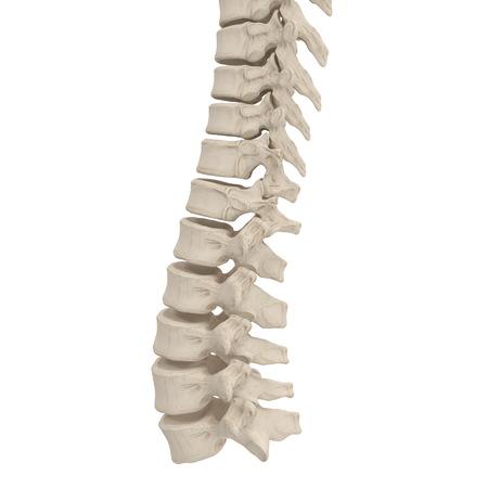 Human Spine Anatomy on white. 3D illustration Stock Illustration - 87898103