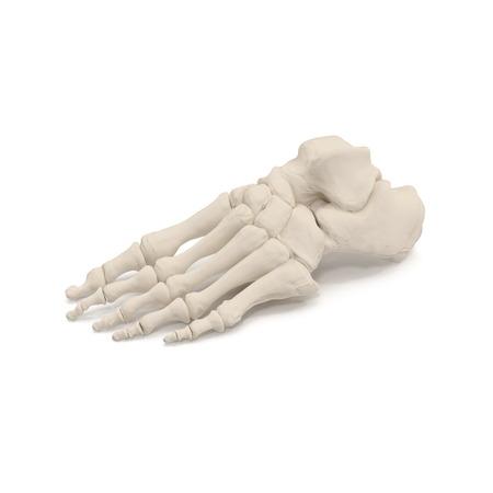 Human Legs Skeleton Bones on white. 3D illustration