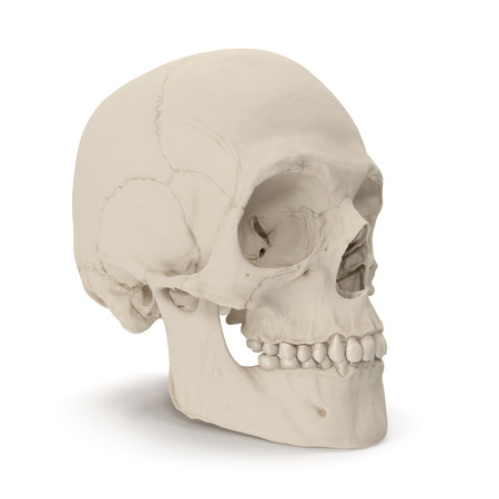 Male Human Skull on white. 3D illustration