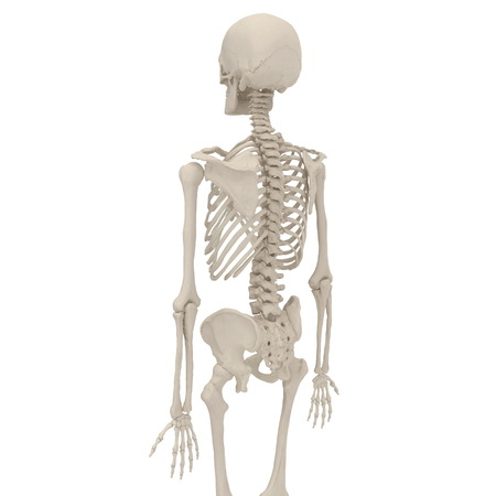 Human Male Skeleton standing pose on white. 3D illustration Stock Photo