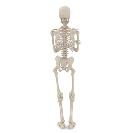 medical accurate male skeleton standing pose on white. 3D illustration
