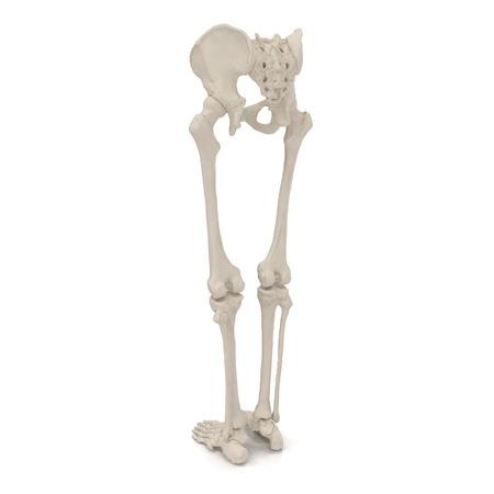 Esqueleto Masculino De La Parte Inferior Del Cuerpo En Blanco ...