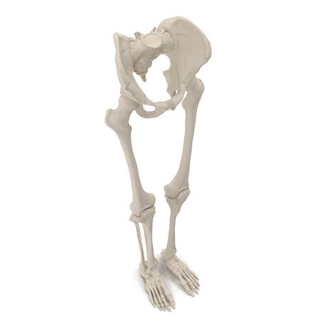 Male Lower Body Skeleton on white. 3D illustration