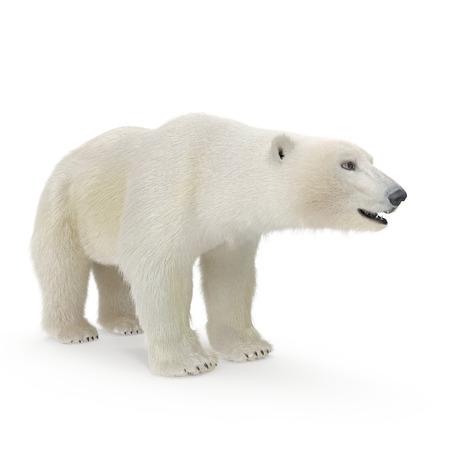 Large male Polar Bear on a white. 3D illustration Stock Photo