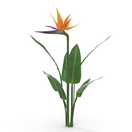 Bird of Paradise Flower on a white. 3D illustration Stock Photo