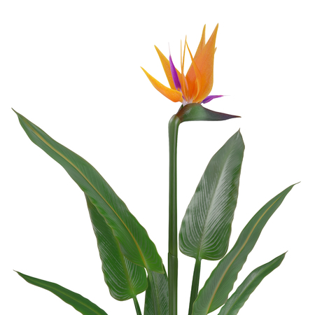 Bird of Paradise Flower on a white. 3D illustration Stock Photo