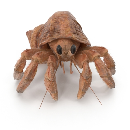 Hermit Crab Crawling Pose On White Background 3D Illustration Isolated