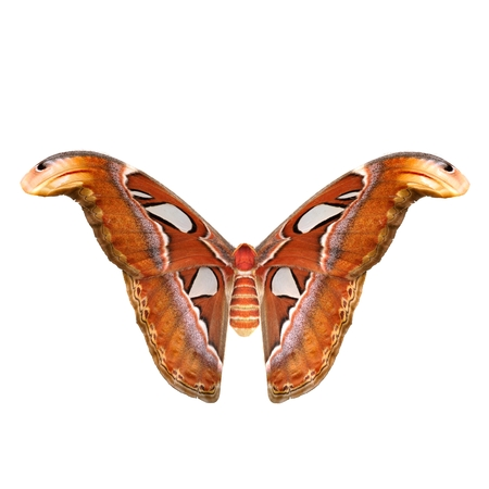 Attacus Atlas Large Saturniid Moth Flying Pose Isolated on White Background. 3D Illustration Фото со стока