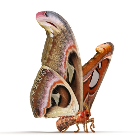 Attacus Atlas Large Saturniid Moth Sitting Pose Isolated on White Background. 3D Illustration
