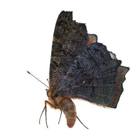 Aglais or European Peacock Butterfly with Fur 3D Illustration Isolated