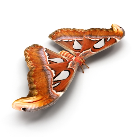 Attacus Atlas Large Saturniid Moth on White Background 3D Illustration Isolated