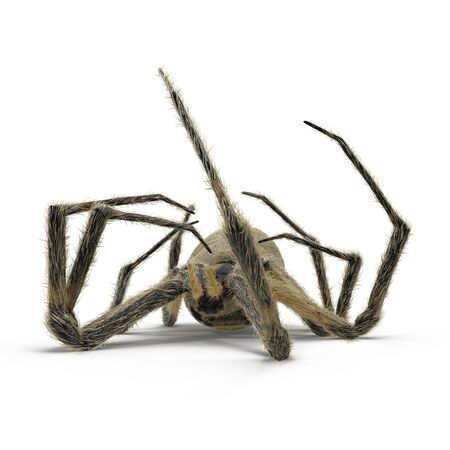 Dead Corn Spider on White Background 3D Illustration Isolated Stock Photo