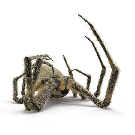 Dead Corn Spider on White Background 3D Illustration Isolated Reklamní fotografie