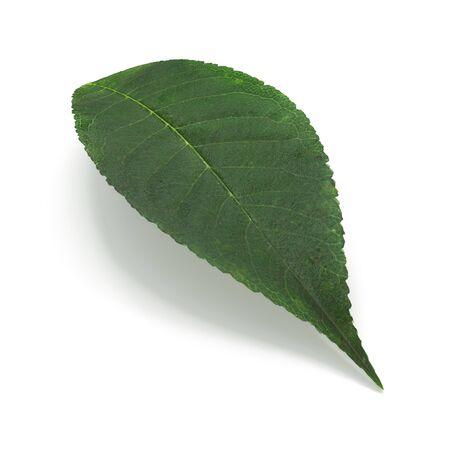 Cherry Leaf on White Background 3D Illustration Isolated