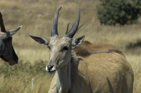 grazer: Cape eland