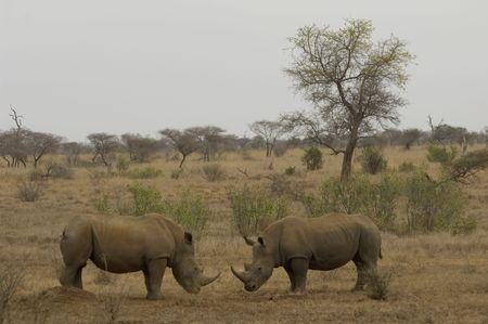 grazer: White rhino Stock Photo