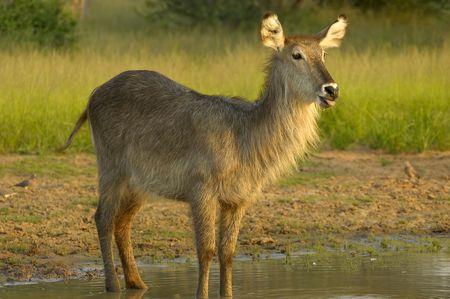grazer: Waterbuck
