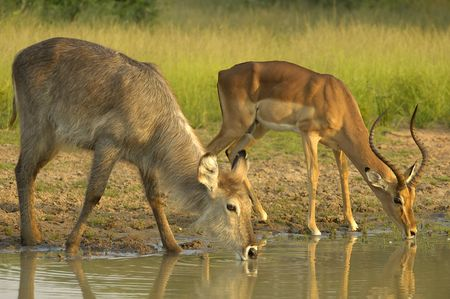 grazer: Drinkig time for waterbuck and impala Stock Photo