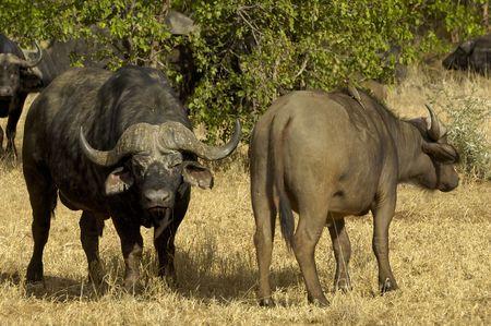 grazer: Cape buffalo