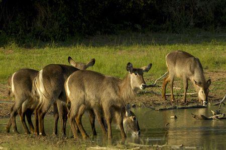 Waterbuck Stock Photo - 7539389