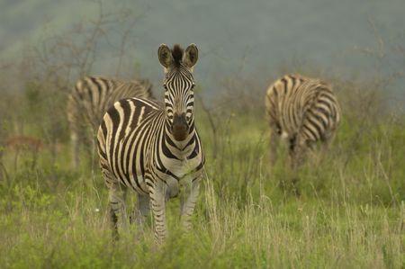 grazer: Zebra Stock Photo